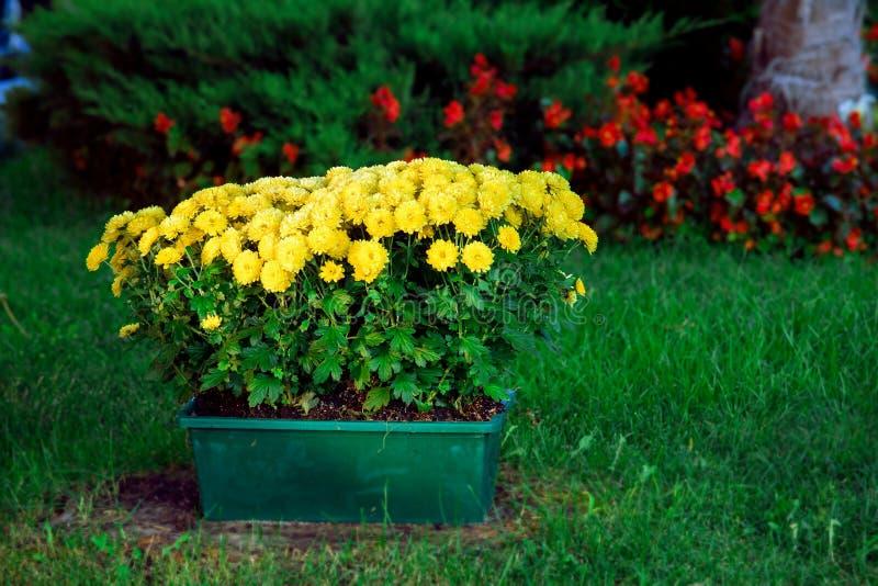 Green flowerpot with yellow flowers. Green flowerpot with yellow flowers on a green lawn in the park, landscape design of the autumn garden stock photography