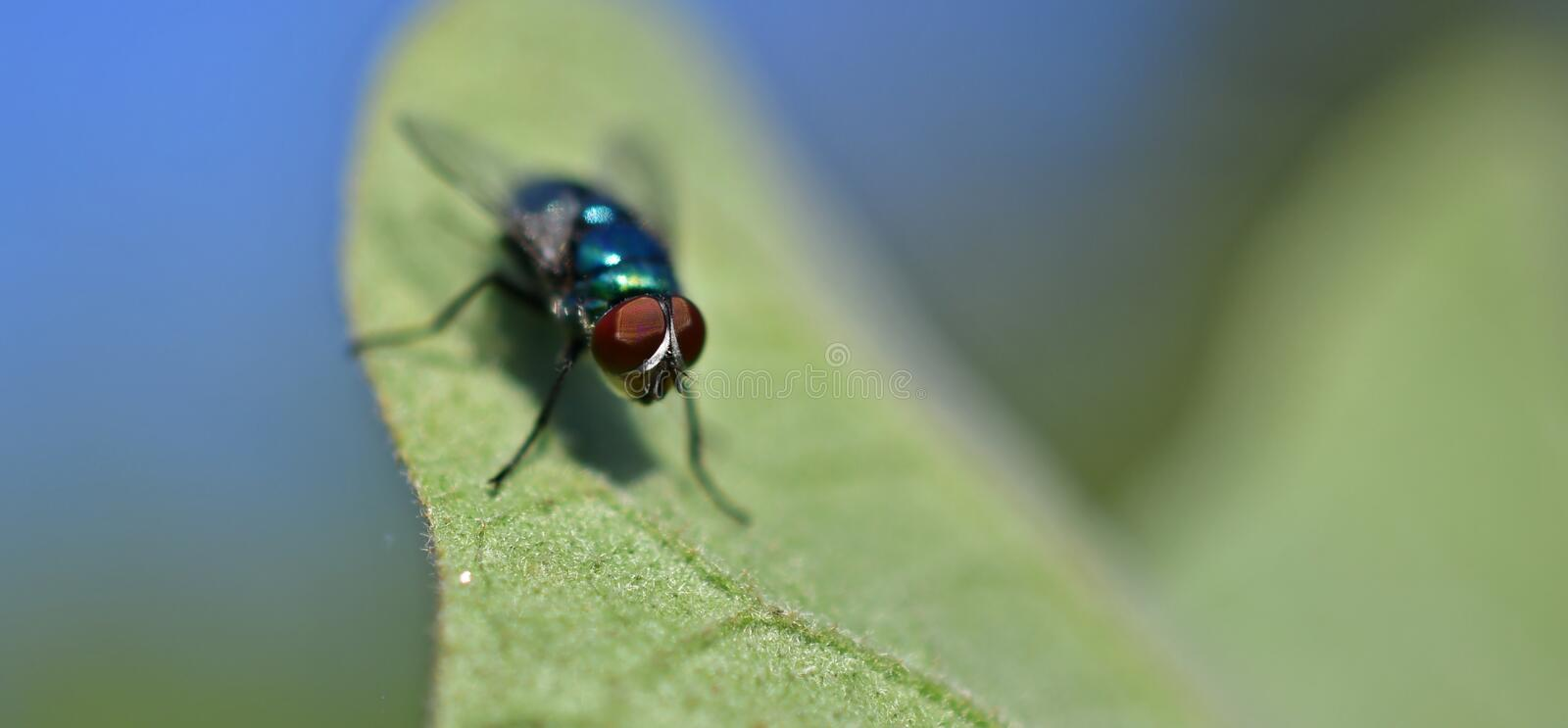 A green fly on the eggplant leaf, Common green bottle fly royalty free stock images