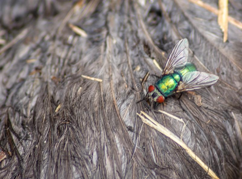 The green fly Lucilia sericata Meigen, 1826 is a diptera belonging to the Calliphoridae family, distributed throughout the wor. Ld, in the temperate zones of the royalty free stock photography