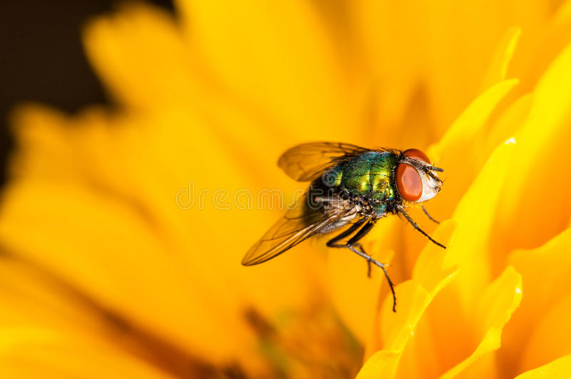 Green fly on a yellow flower.  stock photos