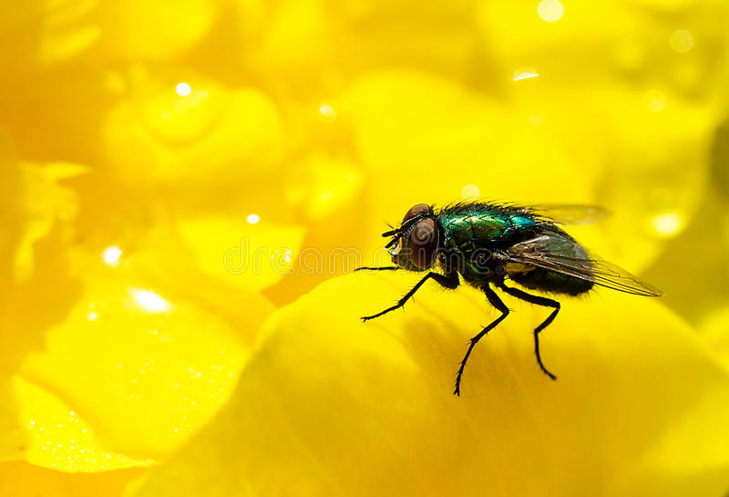 Green fly on yellow flower stock photography