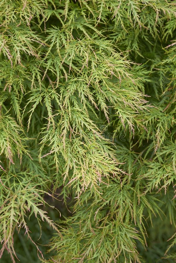 Acer palmatum textured leaves. Green foliage of Acer palmatum tree stock photos