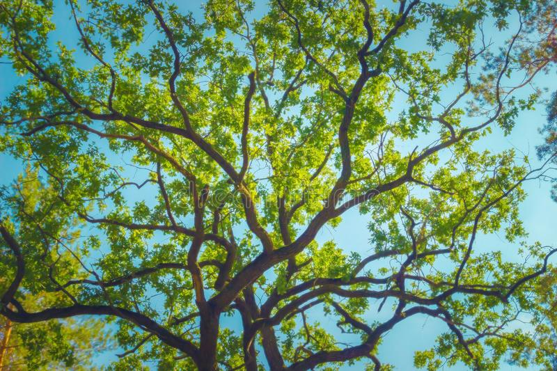 Green foliage of aok tree. Over blue sky royalty free stock images