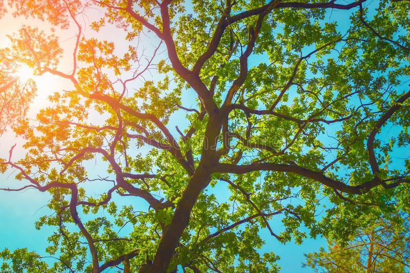 Green foliage of aok tree over blue sky. Nature background royalty free stock photo