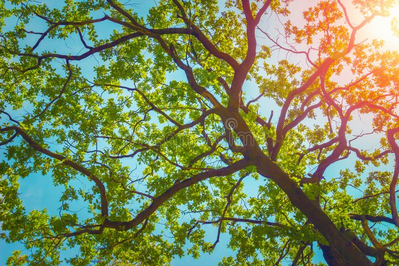 Green foliage of aok tree over blue sky. Nature background royalty free stock photos