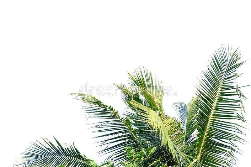 Coconut leaves on white isolated background stock photography