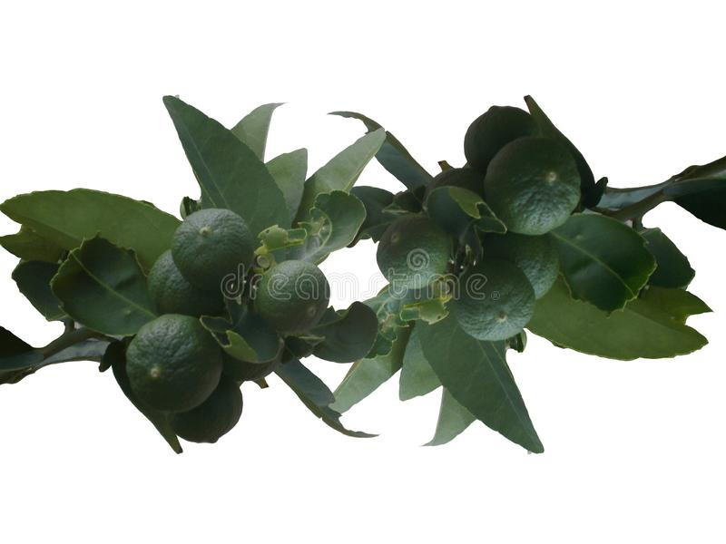 Lemon fruit, Tropical tree leaves with branches on white isolated background royalty free stock photo