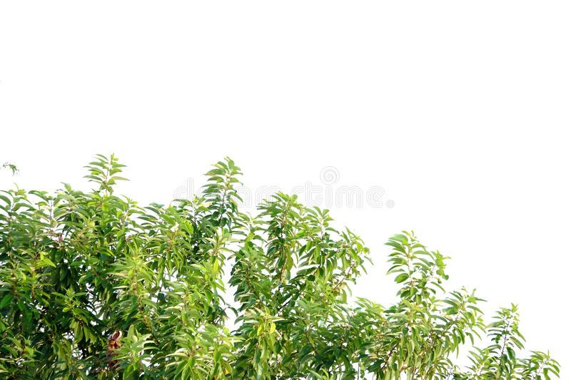 Tropical tree leaves with branches on white isolated background. For green foliage backdrop tropical tree leaves branches white isolated background agriculture royalty free stock image