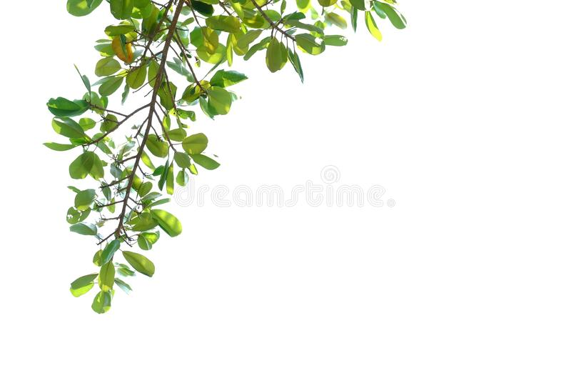 Tropical tree leaves with branches on white isolated background. For green foliage backdrop tropical tree leaves branches white isolated background agriculture stock photo
