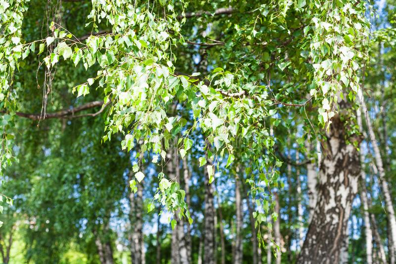 Foliage of birch tree in birch grove in forest stock photo