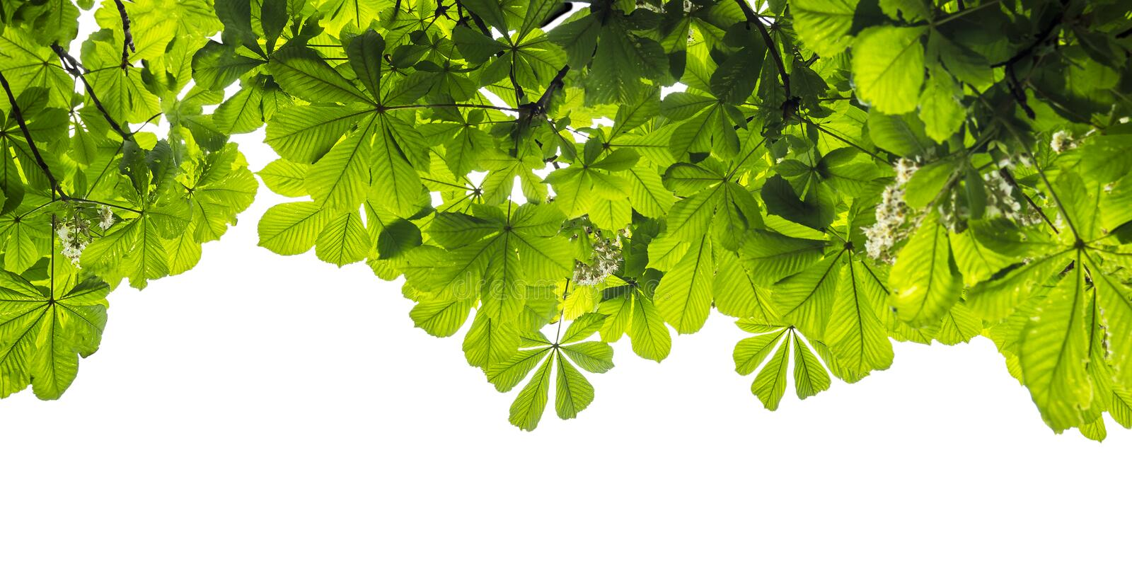 Green foliage of the chestnut tree isolated on white background. Border royalty free stock photo
