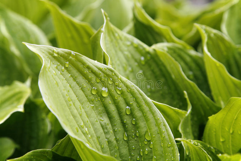 Download Green Foliage Hosta, For Background Stock Image - Image: 13581989