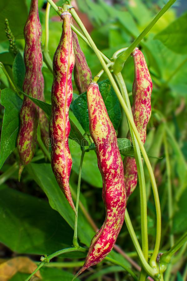 Green foliage plants beans with reddish seed pod close-up. The concept of natural food royalty free stock photo
