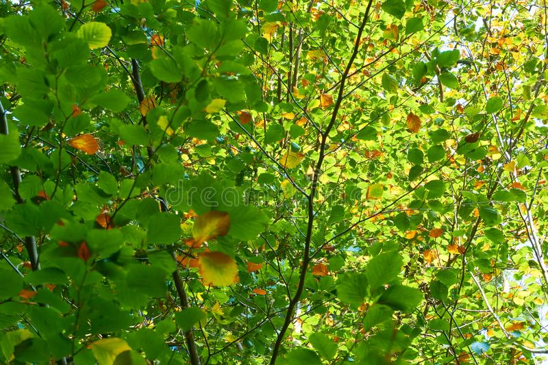 Green foliage in summer with autumn leaves. Green foliage in summer with a few orange brown autumn leaves royalty free stock images