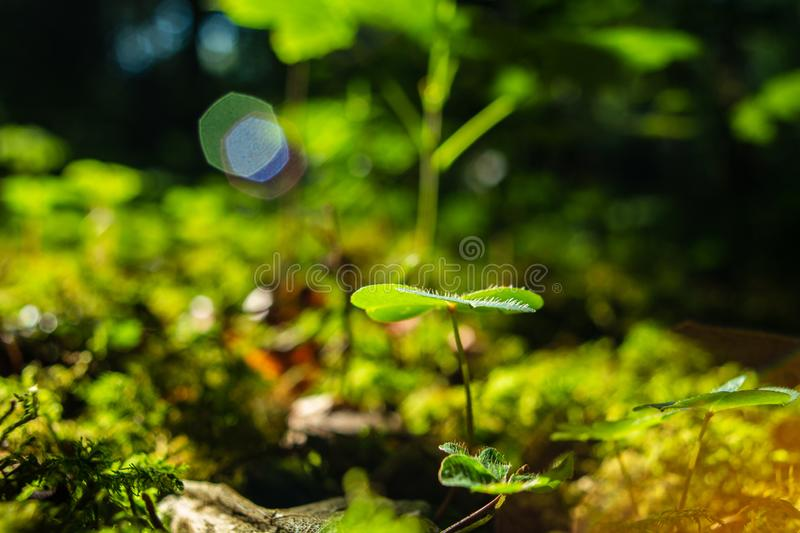 Green forest clover leafs  low angle wide angle macro against sun light with lens flare royalty free stock photo