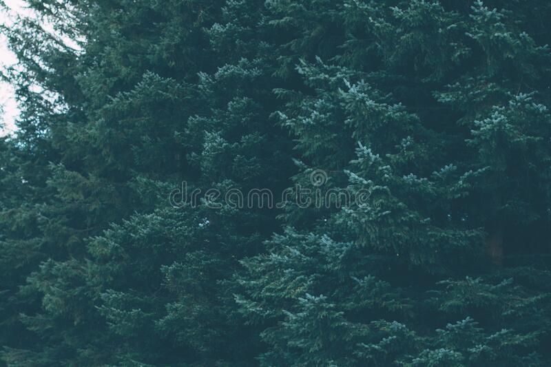 Green Forest Of Evergreen Conifer Trees Free Public Domain Cc0 Image