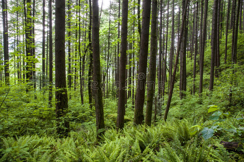 Green forest and ferns. Young trees in green forest with ferns stock image