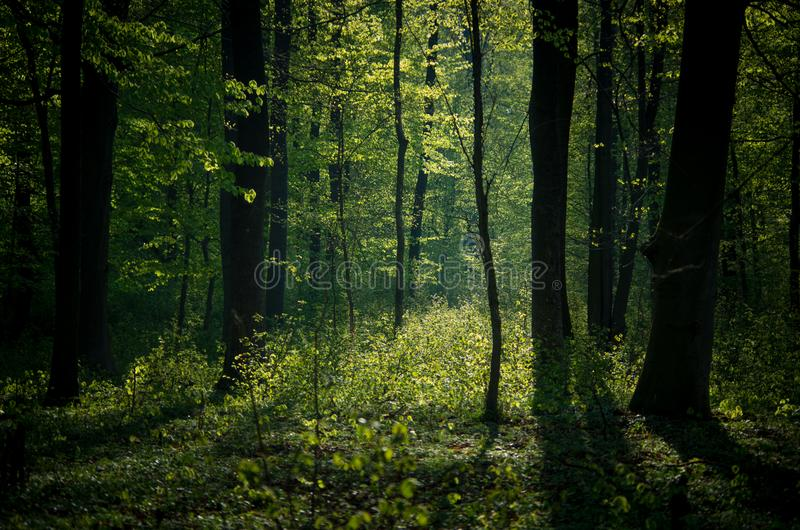 Green forest lit from behind. stock photo