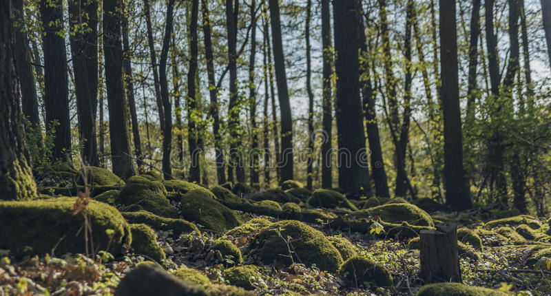Green forest with moss stones royalty free stock photo