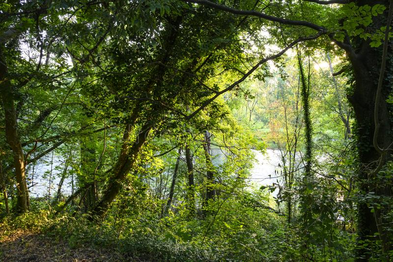 Green forest near the river Adda in northern Italy. Walk at dawn amid the trees, branches and green leaves. In the background the water of the river Adda royalty free stock photography