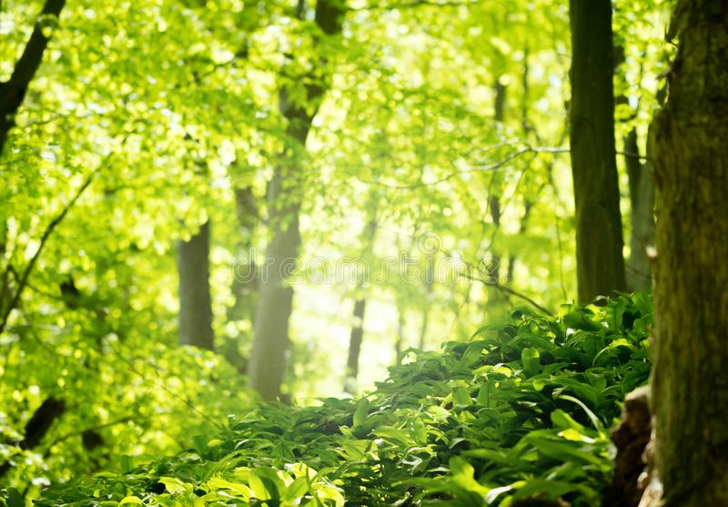 Green forest in spring season. With lush foliage stock photo