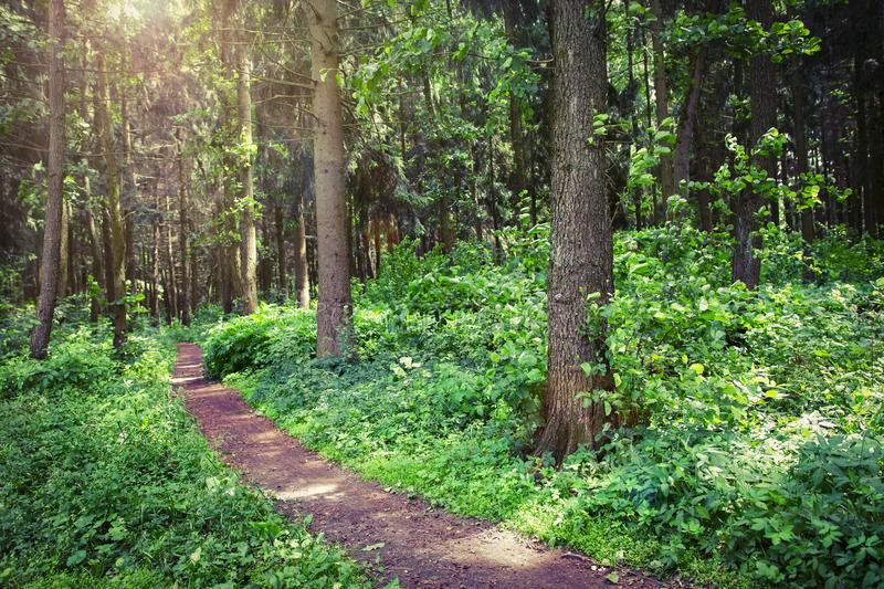 Green forest in the summer. Natural scene of trees in wild forest. Beautiful nature of woodland. Green plant in park. royalty free stock photography