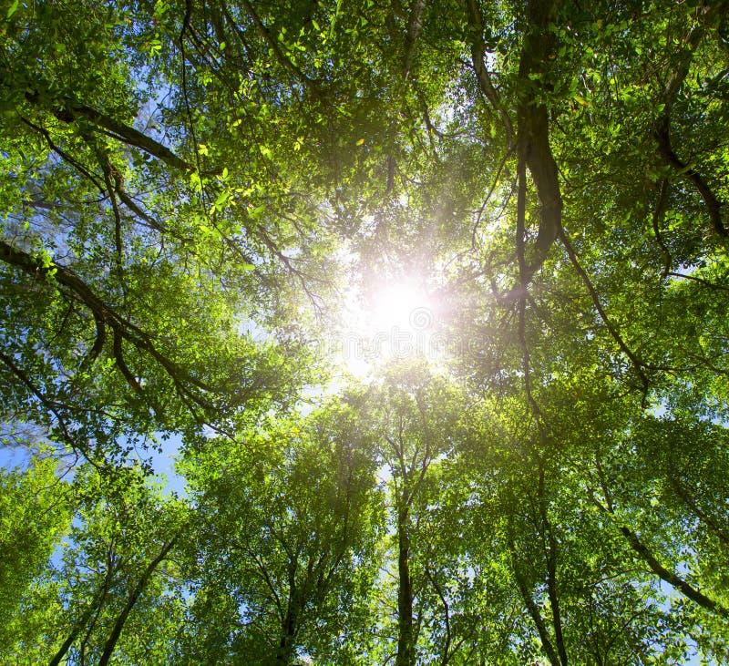 Green forest. Sun light through treetops. stock image