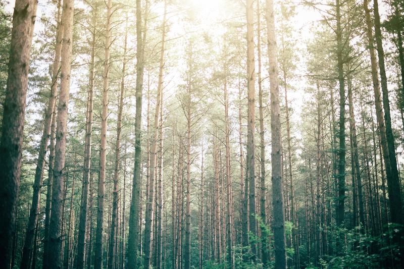 Green forest with sunlight peeking through. stock photography