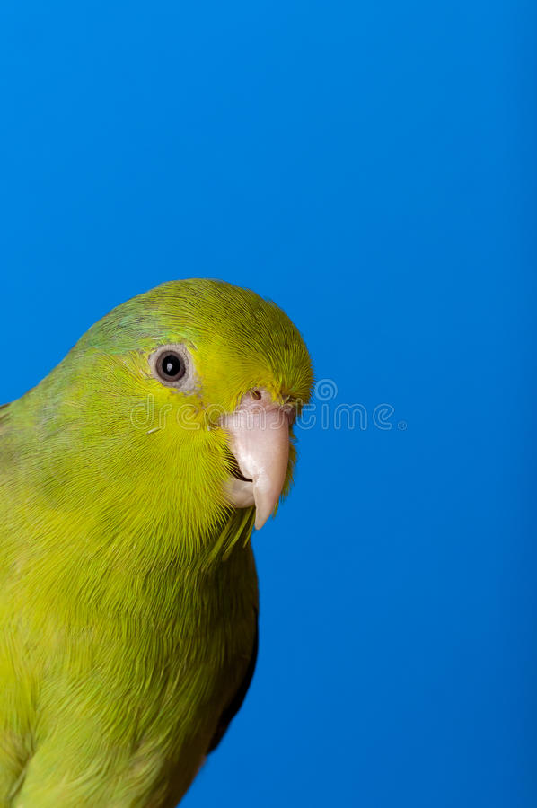 Green Forpus Coelestis. Small bird, parrot like stock photography