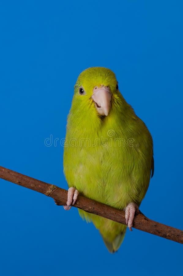 A Smiling Green Forpus Coelestis. Green Forpus Coelestis, small bird, parrot like royalty free stock photos