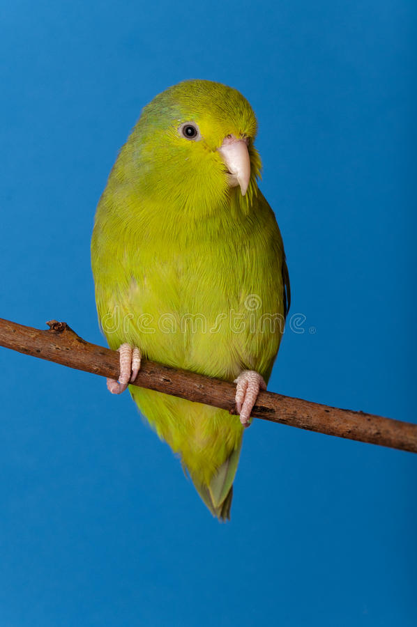 Green Forpus Coelestis. Small bird, parrot like stock photos