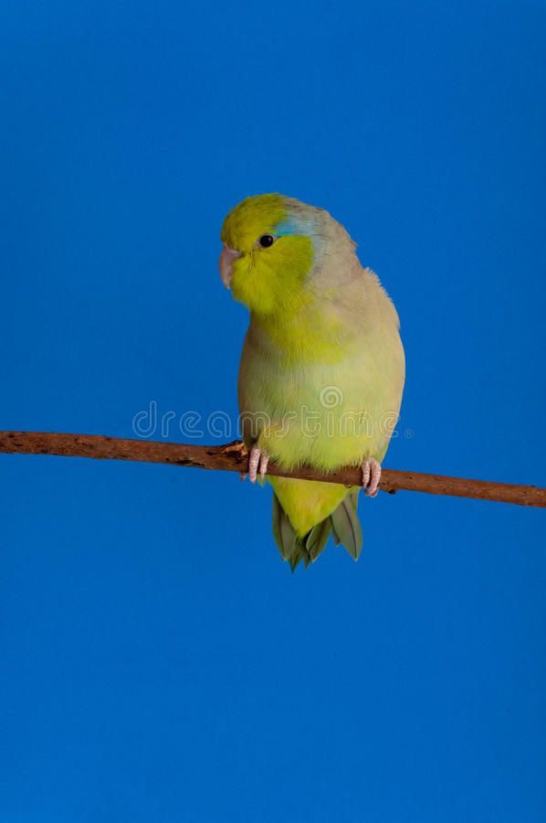 Green Forpus Coelestis. Small bird, parrot like royalty free stock photography