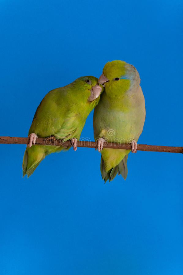 Green Forpus Coelestis. Small bird, parrot like stock photo