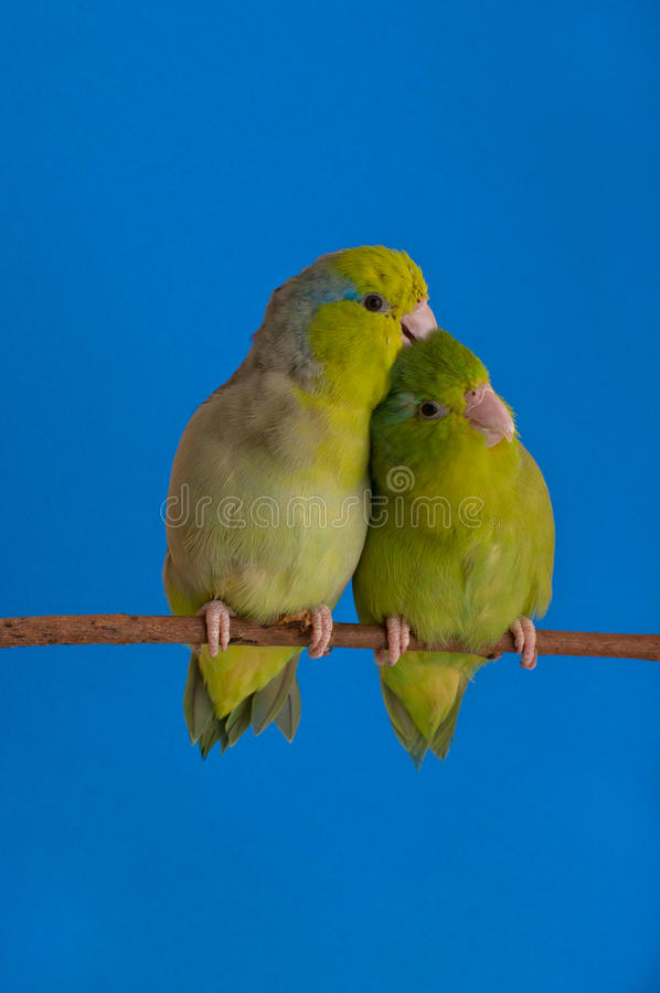 Green Forpus Coelestis. Small bird, parrot like royalty free stock images