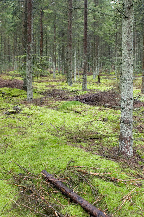 Green forrest moss royalty free stock images