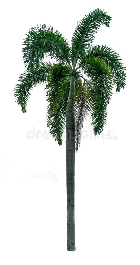 Green palm tree on white royalty free stock images