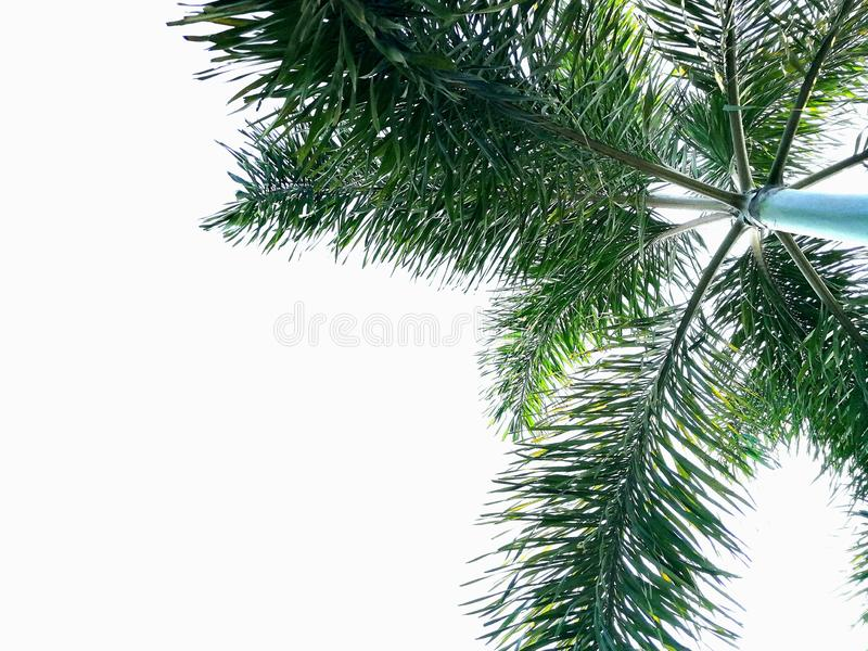 Green foxtail palm tree isolated on white background royalty free stock images