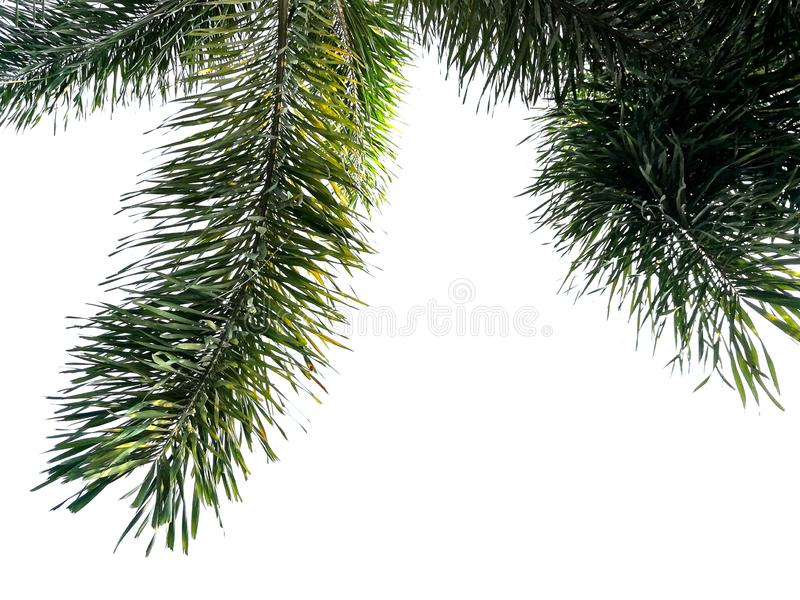 Green foxtail palm tree isolated on white background royalty free stock photo
