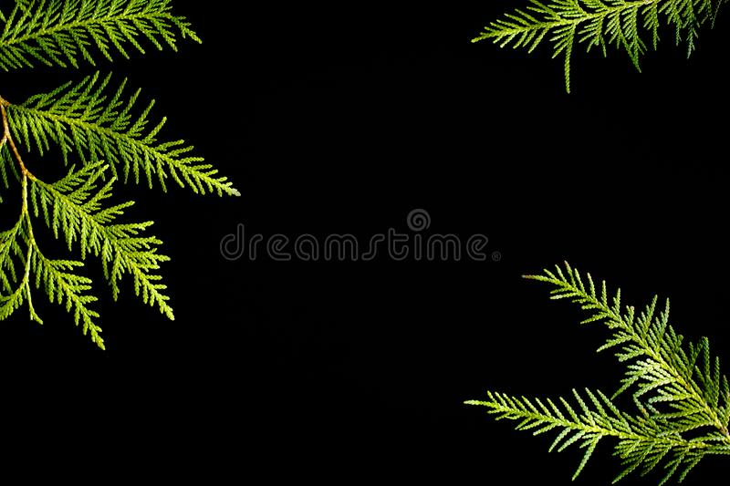 Green frame of thuja tree branches on a black background. Evergreen texture, copy space royalty free stock images