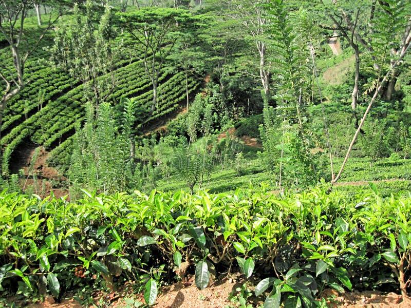 Green Freash Tea. Royalty Free Stock Photography