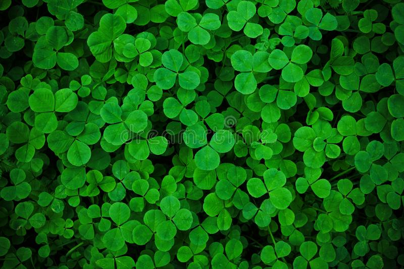 Irish Shamrock Clover Background Stock Photos Download