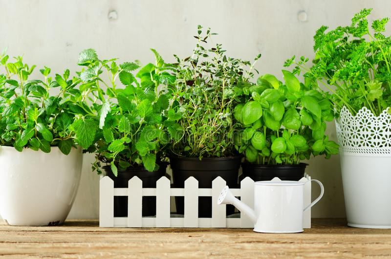 Green fresh aromatic herbs - melissa, mint, thyme, basil, parsley in pots, watering can on white and wooden background. Banner. Aromatic spices, herbs, plants stock image