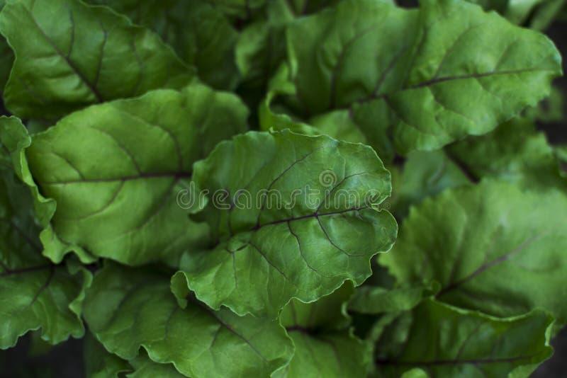 Green fresh beet leaves, organic royalty free stock photography