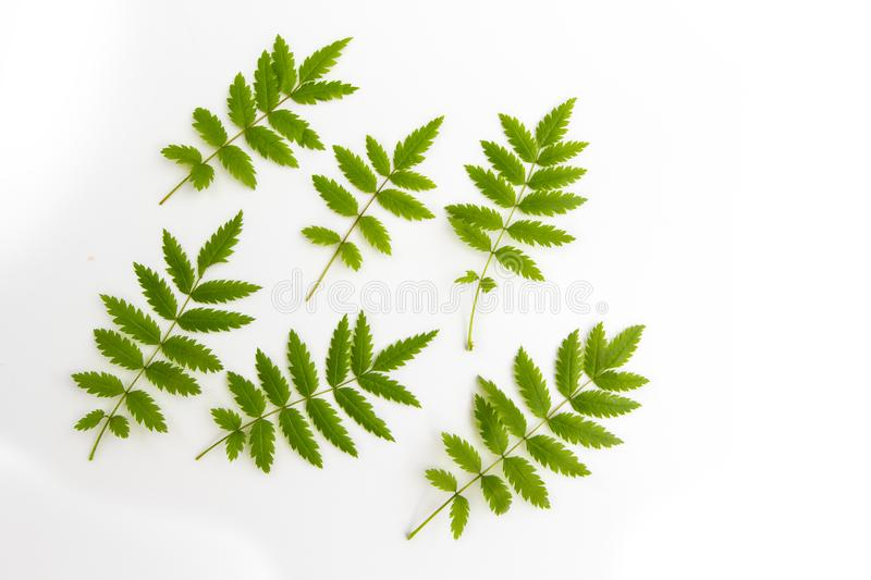 Green fresh carved leaves of mountain ash, rowan tree, isolated on white background, flat lay top view pattern stock photography
