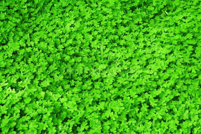 Green fresh clover field stock photo