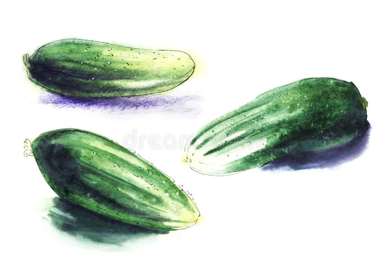 Green fresh cucumber. Set of three hand drawn watercolor illustration on a textured paper. Isolate on a hite background. Green fresh cucumber. Set of three hand vector illustration
