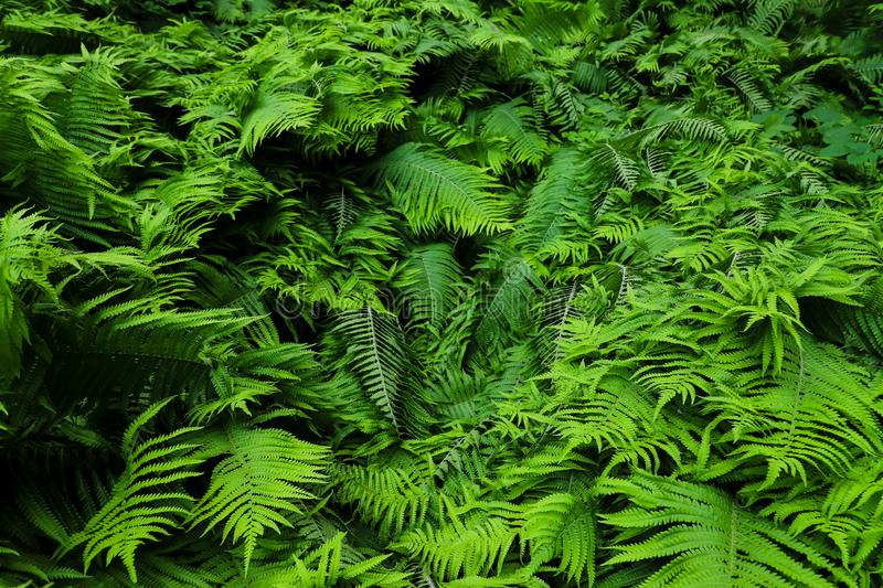 Green fresh fern plant leaves green foliage background. Natural tropical fresh green fern as concept for spring summer growth back royalty free stock photography