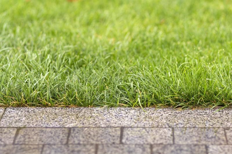 Green fresh grass growing along asphalt gray path, texture for background. Green bright sunny lawn, garden or backyard pattern and. Texture background stock image