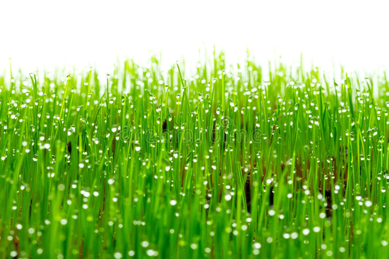 Download Green Fresh Grass With Water Drops Stock Photo - Image: 23697190