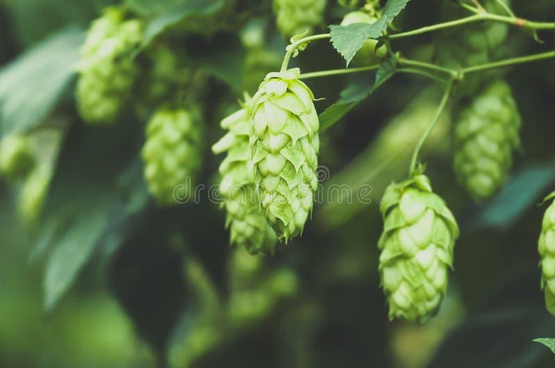 Green fresh hop cones for making beer, closeup stock photos